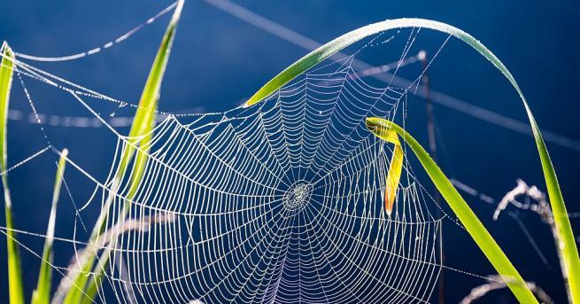 Американски специалисти, изучаващи паяците-отшелници, разбраха на какво се дължи здравината