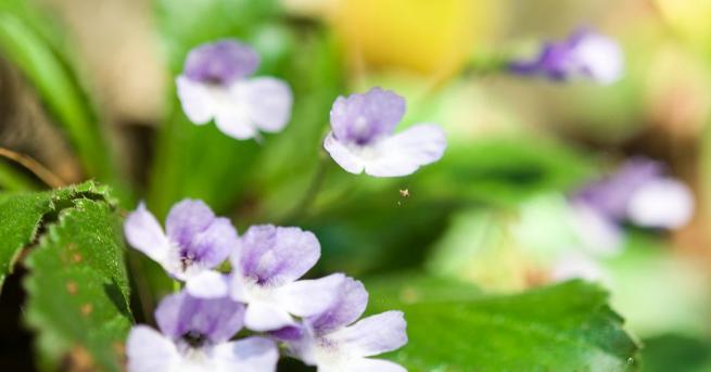 """Родопският силивряк е известен като """"възкръсващо растение"""" или цветето на"""