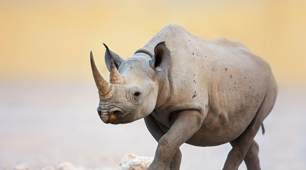 Учени поставиха на носорог ембрион, създаден ин витро