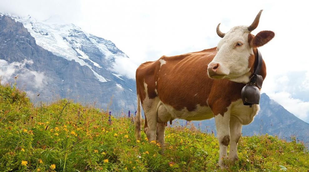 Решено: Кравите в Швейцария остават без рога