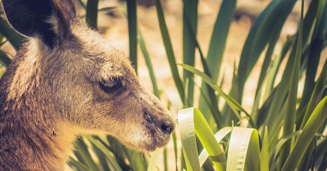 Роджър - червеното кенгуру, прочуло се със своите боксьорскиумения и