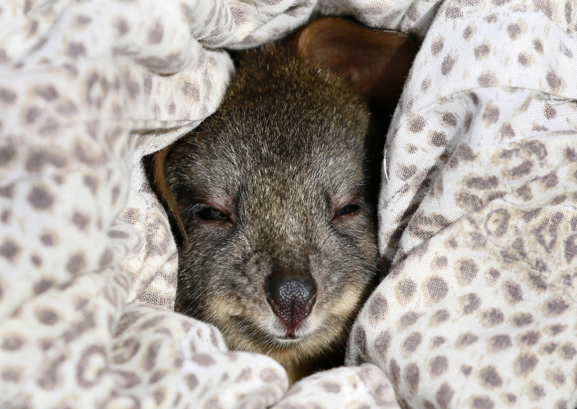 Тасманийски падемелон на име Тре, за когото се грижат доброволци. Тежащото само 460 г. животинче е било открито до майка си, ударена от кола и убита.