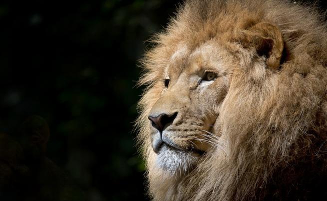 Лъв избяга от клетката си и уби служител на зоопарк