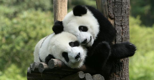 Новите обитатели на московския зоопарк - пандите Руи и Диндин,