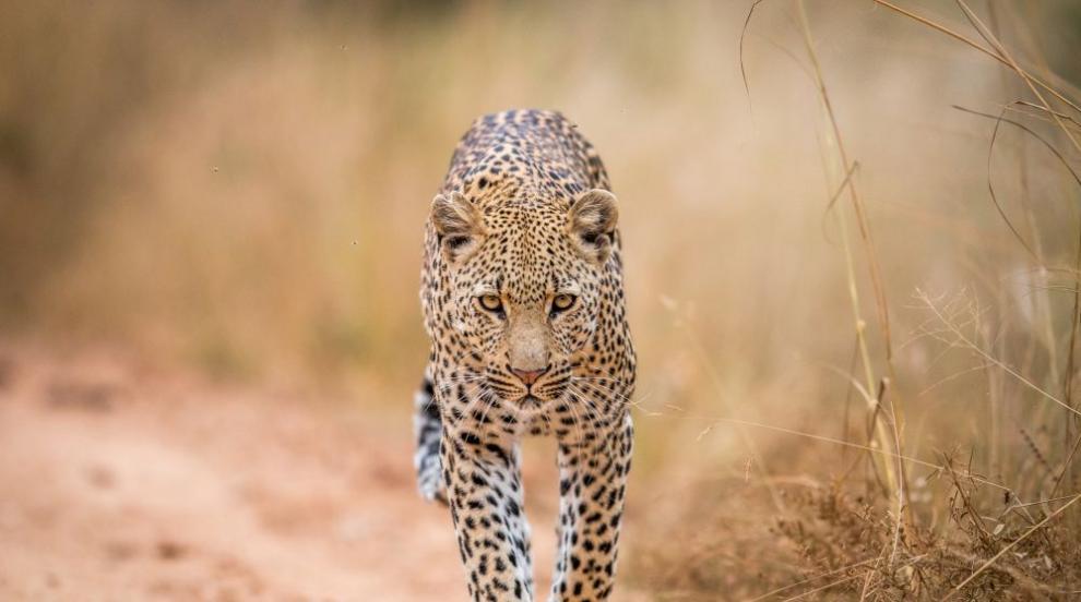 Дронове и слонове търсят избягал леопард в Индия