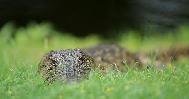 500 души отидоха на погребение на 130-годишен крокодил, който не