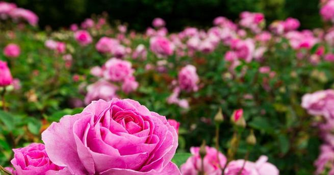 Снимка: Розата