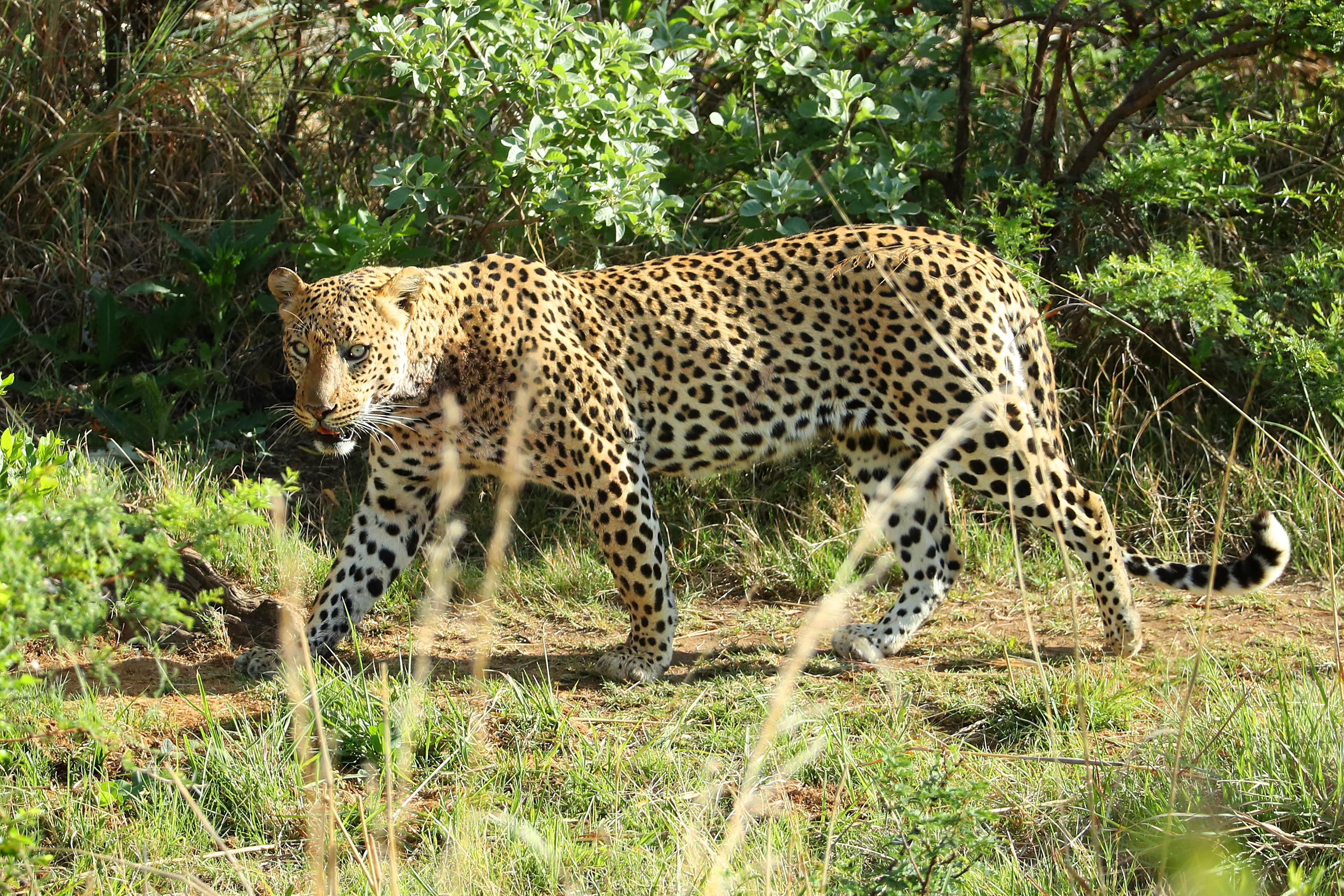 """Леопарди в Мумбай<br /> Във втората част на поредицата документални филми """"Планетата Земя"""" операторът Гордън Бюханън успява да улови процъфтяваща популация на леопарди точно под носа на техните човешки съжители. В парка Санджай Ганди са регистрирани 41 леопарда. Те обаче съвсем не са единствените жители на Мумбай. Както се оказва, някои от представителите на вида предпочитат да обитават и крайните квартали на града. Това съвсем не звучи """"атрактивно"""" като елените на Нара, но пък поне предпазва гражданите от бяс, тъй като леопардите ловуват бездомните кучета в региона."""
