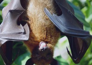 Горещините в Австралия влияят на прилепите