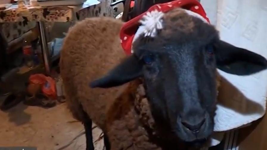 Мъж отглежда овца като домашен любимец