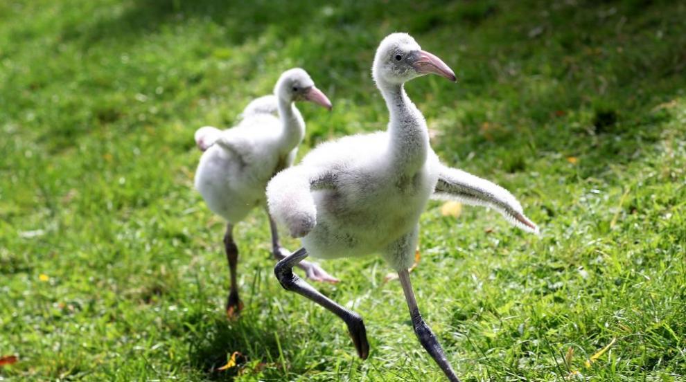 Хиляди пиленца фламинго бяха изоставени от родителите си (ВИДЕО)