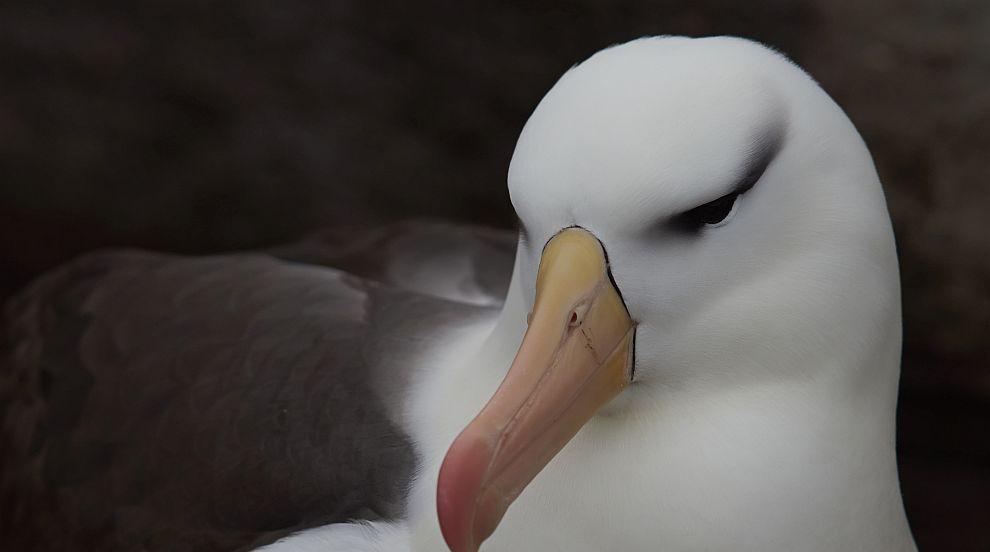Най-старата птица в света си измъти пиленце (СНИМКИ)