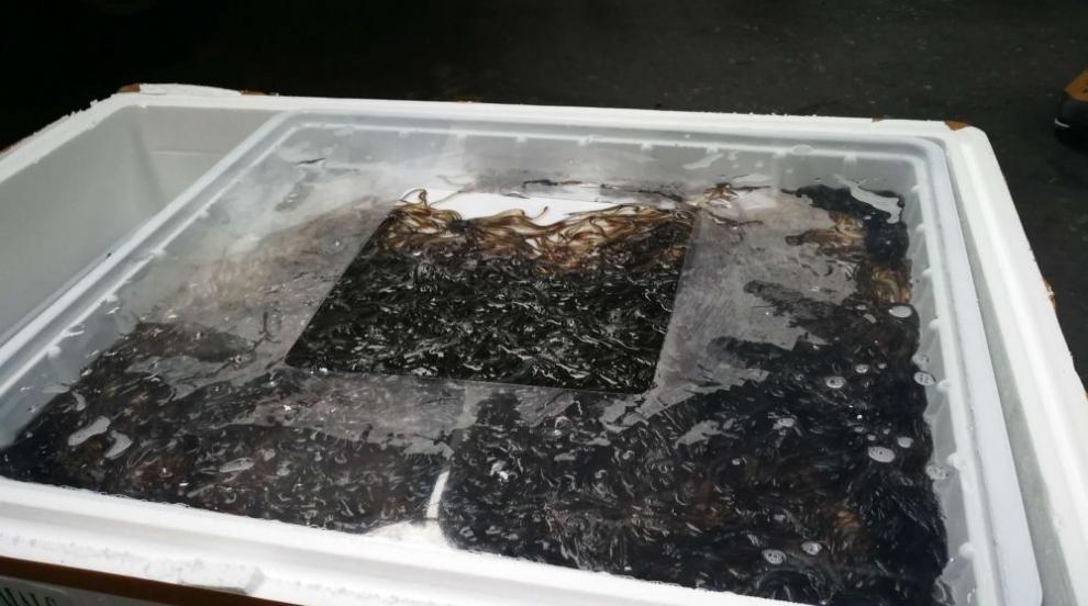 Бебета-змиорки от застрашен вид задържаха на Летище София (СНИМКИ/ВИДЕО)