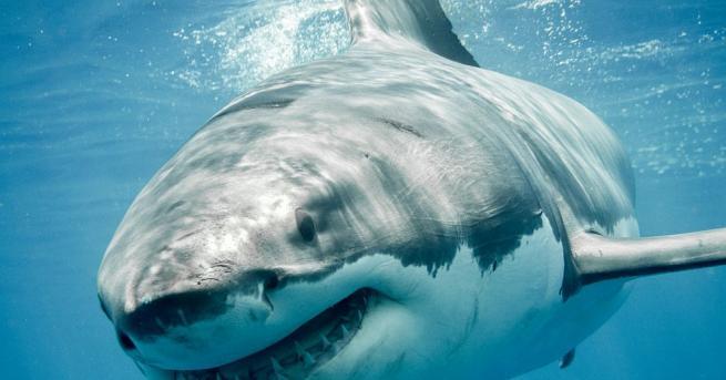 Голямата бяла акула - един от най-страховитите хищници на планетата,