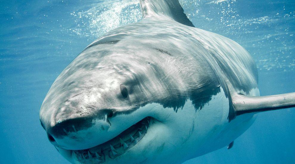 Триметрова акула уби 60-годишен сърфист в Австралия