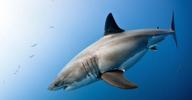 Голяма бяла акула за първи път беше видяна в протока