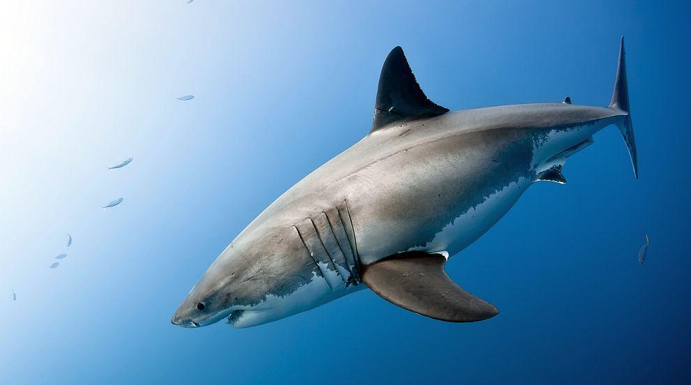 Голяма бяла акула се появи в протока Лонг айлънд (СНИМКА)
