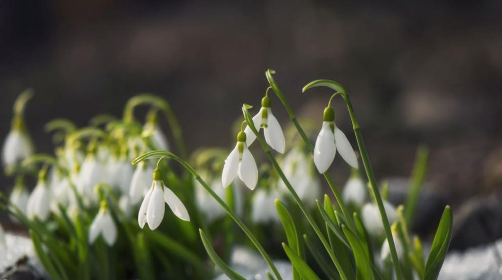 Започват проверки за търговия със защитени видове пролетни цветя
