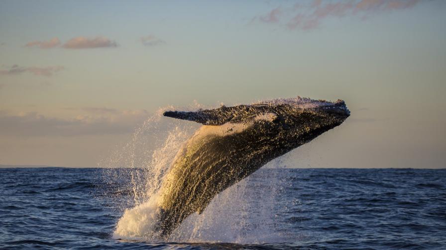 <p>Гърбат кит заснет пред Статуята на свободата (снимки)</p>