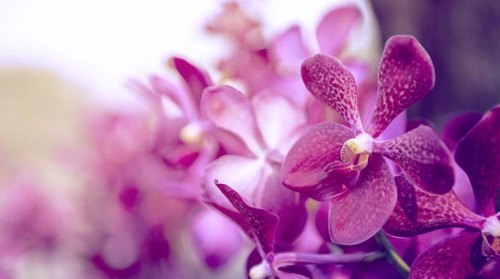 Oрхидеята - увлечение за аристократи и страст за цял живот (СНИМКИ)