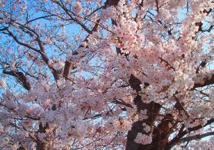Япония тръпнe: вишните сакура започват да цъфтят