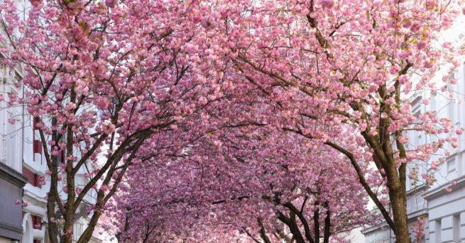 В Япония започна сезонът на цъфтежа на вишните сакура, който