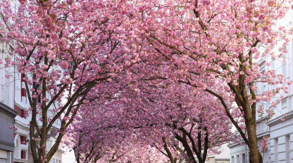 В Япония започна сезонът на цъфтежа на вишните сакура (СНИМКИ)