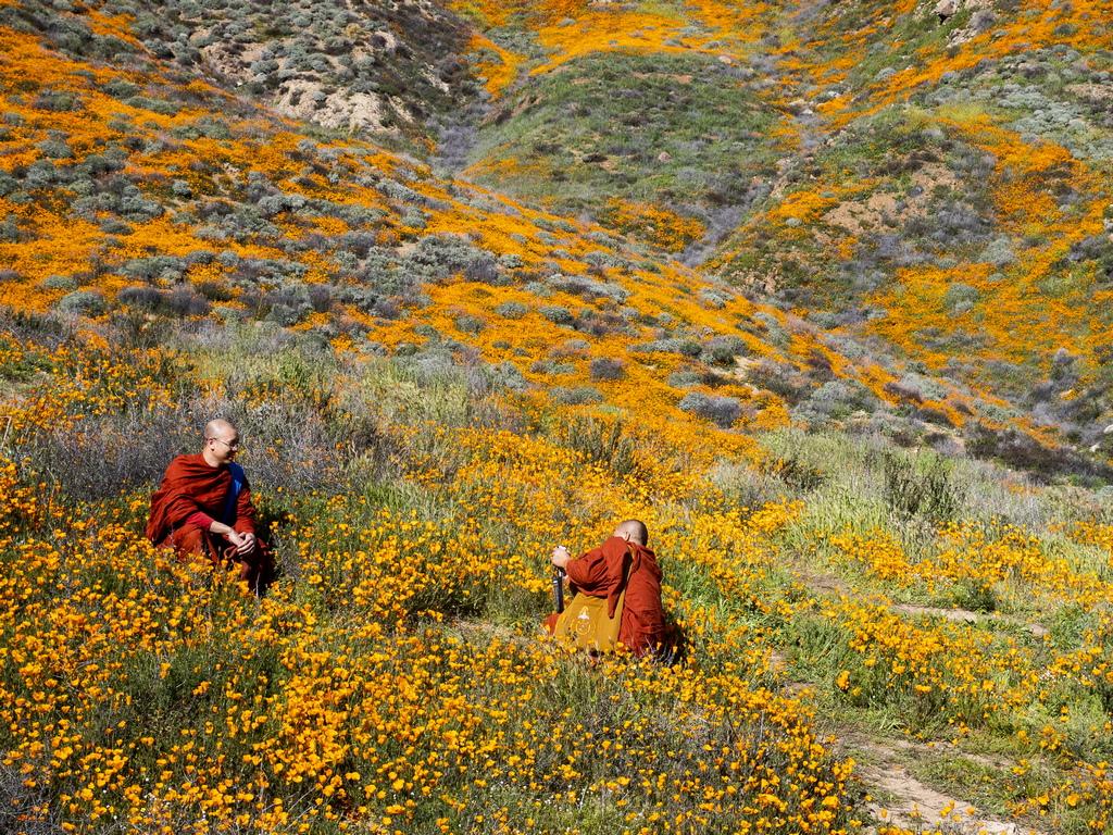 Семената на дивите цветя обикновено имат дебело - наподобяващо восък покритие, което им позволява да лежат в почвата на пустинята години наред и внезапно да поникнат, когато настъпят подходящите условия.
