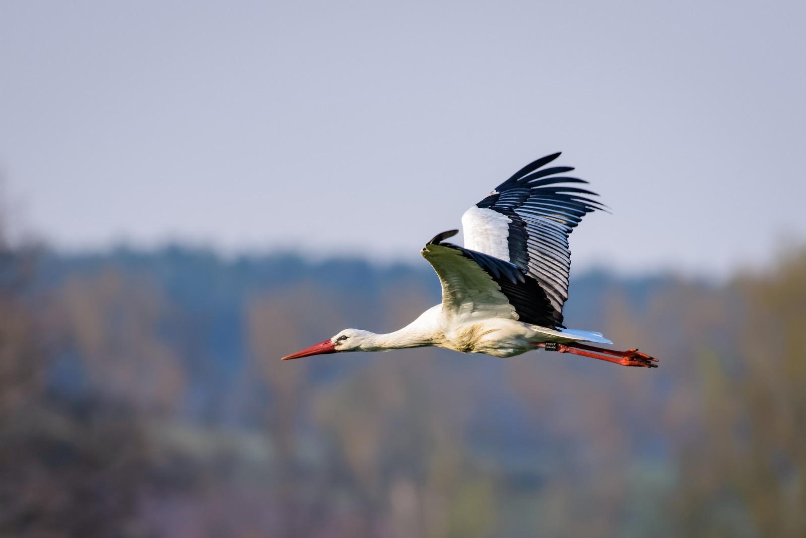 Вярва се, че ако някой види най-напред щъркел, който не лети, а лежи или ходи, недобро ще го сполети.