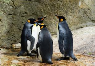 Уникален пингвин в Полски зоопарк