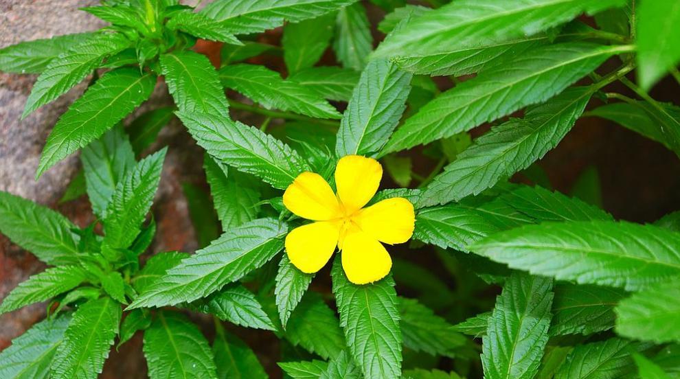 Дамяна - божествената билка, която зарежда с неповторимо любовно чувство (ВИДЕО)