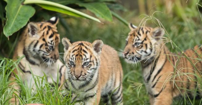 Зоопаркът в Сидни представи три редки суматрански тигърчета пред посетителите
