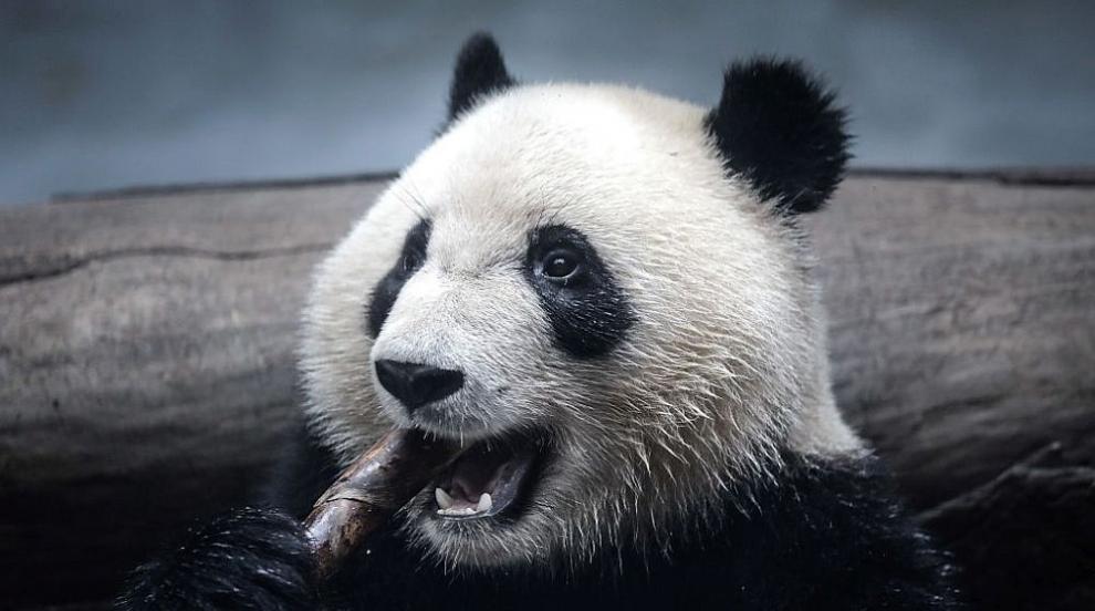 Тя е гигантска панда, много е сладка и става на 4 години (ВИДЕО)