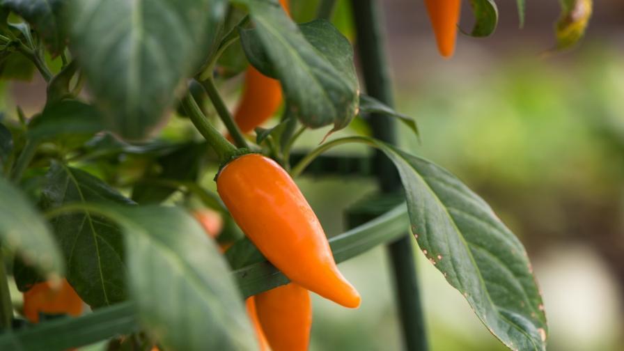"""""""Български морков"""", който всъщност е сорт люта чушка"""