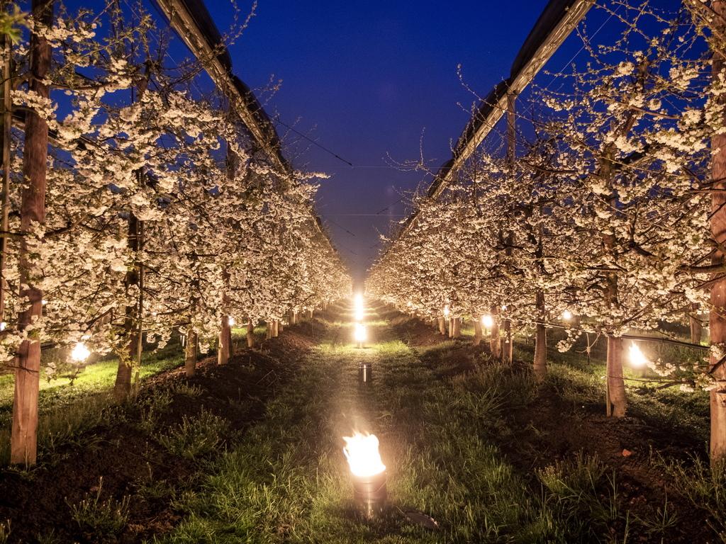 Горящи свещи между черешовите дръвчета в Баар, Швейцария. Нагревателните свещи се използват за предотвратяване на замръзването на цветята от студа.