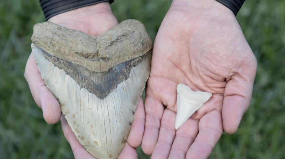 Късмет в пясъка: Момиче намери на плажа огромен зъб от мегалодон (ВИДЕО)