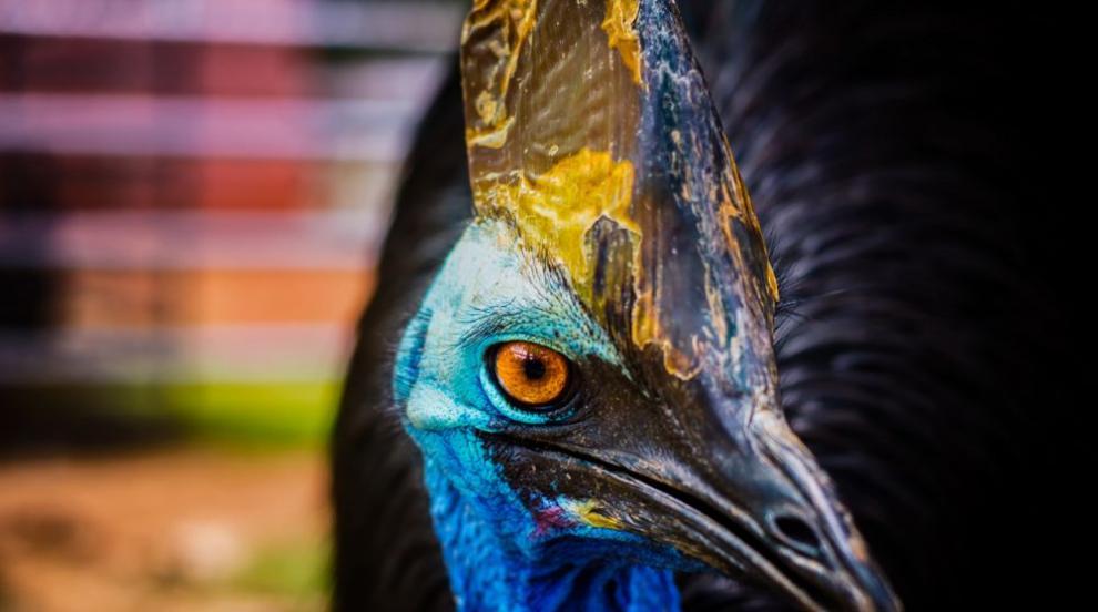 Какво се случва с птицата казуар, която уби стопанина си