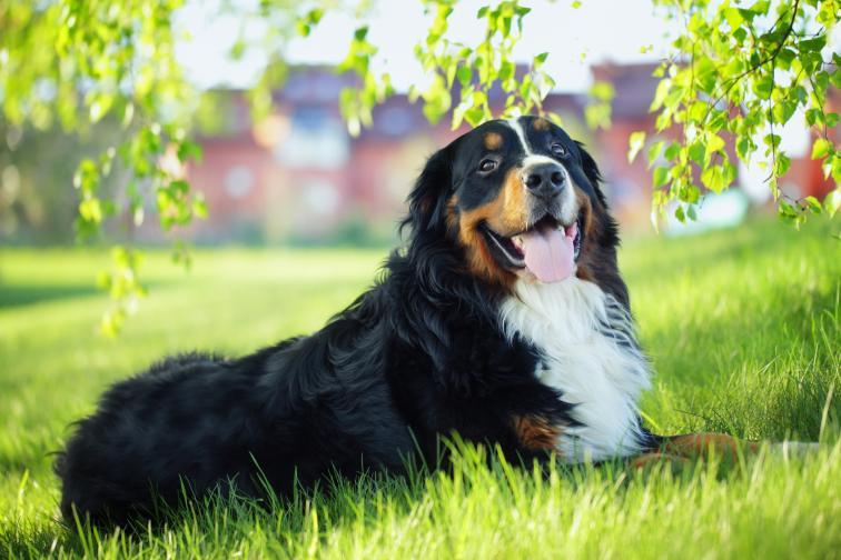 Представителите на зодия Телец ще се разбират чудесно с бернското планинско куче. Кучетата от тази порода обикновено са послушни, спокойни и много интелигентни. Дресират се лесно и по природа се привързват много бързо. Всички знаем, че Телците имат периоди на известна ленивост, така че бернското планинско куче ще е приятелят, който ще се излежава и ще гледа филм заедно с тях.