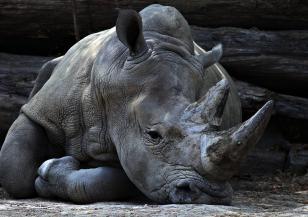 Суматранският носорог е критично застрашен от изчезване