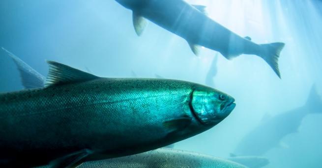 Снимка: Токсично водорасло убива сьомгите в норвежки развъдници