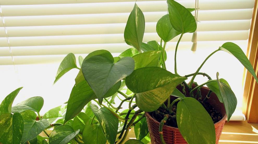 Растенията, които ще пречистят въздуха в дома ви (ВИДЕО)