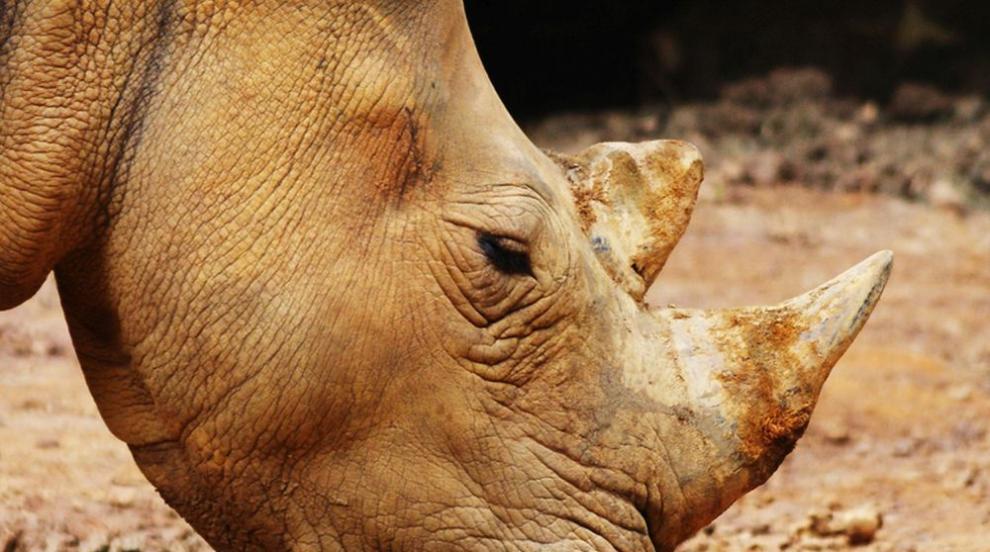 Гневен носорог нападна автомобил в Германия (ВИДЕО)