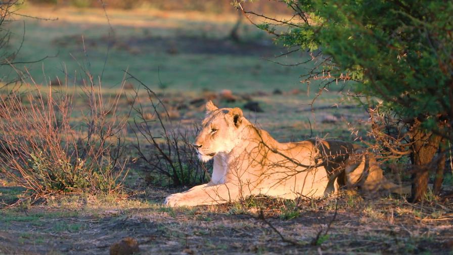 Ще тръгнете ли на пешеходно сафари сред лъвове и леопарди