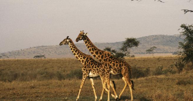 В рядък трагичен случай два жирафа в американски зоопарк са