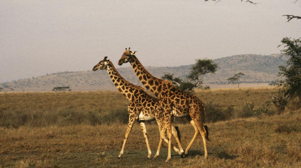 Хомосексуалността е често срещана при животните