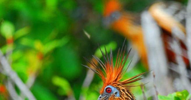 Малките на птиците хоацини, които се срещат в Южна Америка,