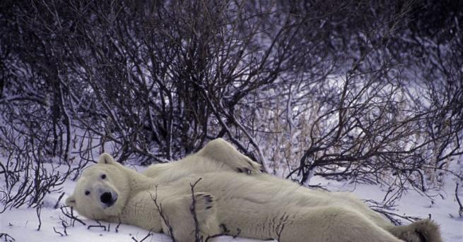 Гладен полярен мечок е забелязан в покрайнините на руския индустриален