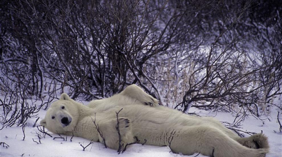 Гладна полярна мечка в центъра на руски град (ВИДЕО/СНИМКИ)