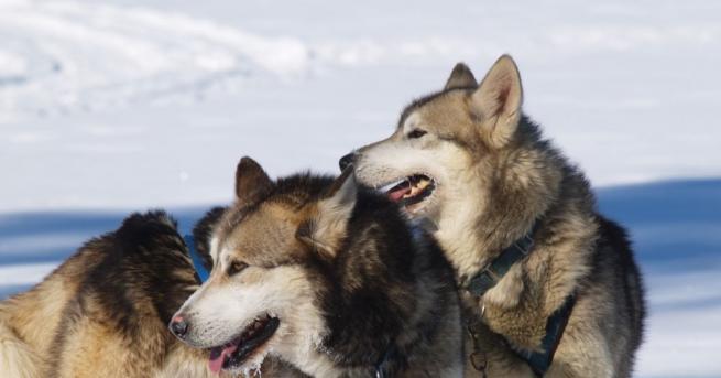 Датският метеоролог Стефен Олсен засне как кучетата от впряга му