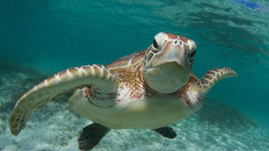 зелена морска костенурка